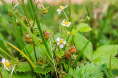 Strawberries armor. Fragária - genus of perennial herbaceous plants of the Pink family. Stock Images