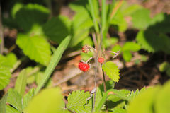 Strawberries armor. Fragária - genus of perennial herbaceous plants of the Pink family. Stock Photography