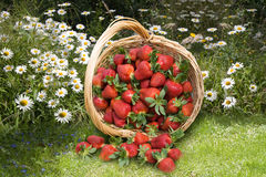 Strawberries in the basket Stock Photos