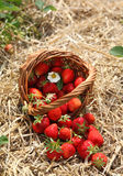 Strawberries in a basket. In the strawberry field Royalty Free Stock Photo