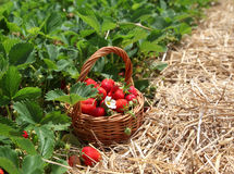 Strawberries in a basket. In the strawberry field Stock Photo