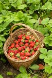 Strawberries in a basket Royalty Free Stock Photos