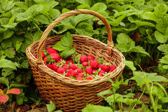 Strawberries in a basket Stock Photo