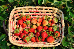 Strawberries in a basket at garden Stock Photos