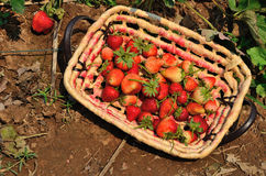 Strawberries in a basket at garden Stock Image