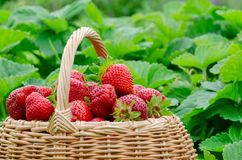 Strawberries in a basket in the garden stock photography