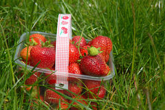 Strawberries in basket on grass. Strawberry field, with picked-up strawberries in a plastic container in grass Royalty Free Stock Photos