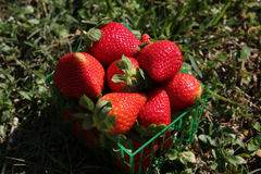 Strawberries in a basket. On the grass Royalty Free Stock Images
