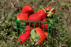 Strawberries in a basket. On the grass Royalty Free Stock Photo
