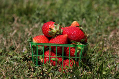 Strawberries in a basket. On the grass Royalty Free Stock Photography