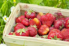 Strawberries in a basket on grass Royalty Free Stock Photography
