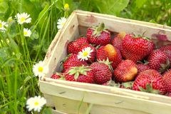 Strawberries in a basket on grass Stock Image