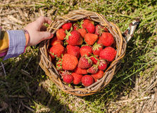 Strawberries in the basket Royalty Free Stock Image