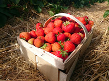 Strawberries in a basket Royalty Free Stock Photography