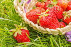 Strawberries in the basket. Strawberries in a basket lying in the grass Royalty Free Stock Photo