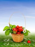 Strawberries in the basket Royalty Free Stock Photography
