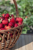 Strawberries in a basket. On a napkin in the garden Royalty Free Stock Photography