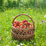Strawberries in basket. Royalty Free Stock Image