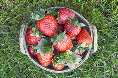 Strawberries in a basket. Strawberries in a wooden basket resting on a green lawn Stock Image