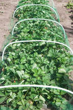 Strawberries bed covered with protective mesh from birds. Protection of strawberry harvest in the garden Stock Photography