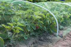 Strawberries bed covered with protective mesh from birds. Protection of strawberry harvest in the garden Royalty Free Stock Image