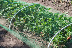 Strawberries bed covered with protective mesh from birds. Protection of strawberry harvest in the garden Royalty Free Stock Photos