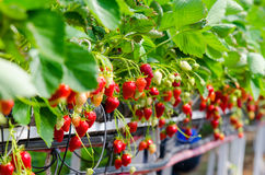 Strawberries being grown Royalty Free Stock Photography