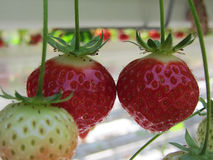 Strawberries being grown commercially on table top irrigation system. Stock Image