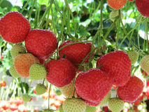 Strawberries being grown commercially on table top irrigation system. Stock Photo