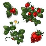 Strawberries berries in different stages of growth. Vector illustration in cartoon style isolated on white. Background Royalty Free Stock Image