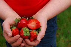 Strawberries (bitten) in the hands of a child Stock Image