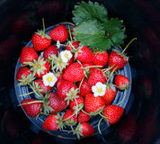 Strawberries with black background. Strawberries and their leaves with black background Stock Images