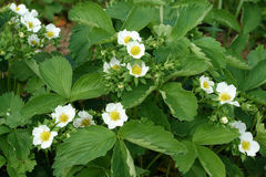 Strawberries blooming Stock Photography