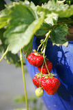 Strawberries in blue flowerpot Royalty Free Stock Image