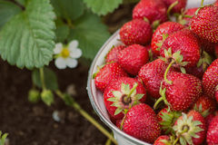 Strawberries. In a bowl in the garden Royalty Free Stock Photos