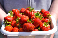 Strawberries in a box. Fresh and new strawberries are kept in a box Stock Photo