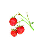 Strawberries on a branch isolated Royalty Free Stock Photo