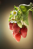 strawberries on a branch Royalty Free Stock Photos