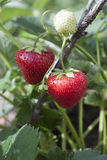 Strawberries on the branch . Strawberries on a branch with leaves Stock Image