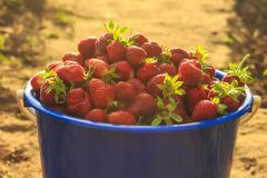 Strawberries in a bucket on the grass Royalty Free Stock Images