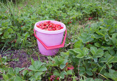 Strawberries in a bucket Stock Image
