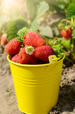 Strawberries in the bucket Stock Image