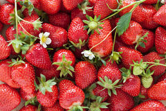 Strawberries. A bunch of freshly picked strawberries Stock Images