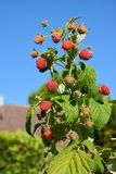 Strawberries at a bush against blue sky. Ripe raspberries , hanging on a bush. Due to the enormous heat and dryness, some fruits have dried up stock photo