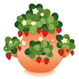 Strawberries in a Clay Strawberry Jar Stock Images