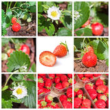 Strawberries collage Royalty Free Stock Images