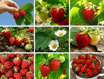 Strawberries collection Stock Photos