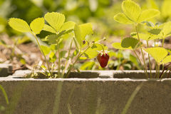 Strawberries from concrete Stock Images
