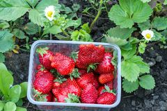 Strawberries in container in the garden stock photo