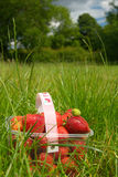 Strawberries in container on grass. Countryside field and picked-up strawberries in a basket on grass. *** If you need the original RAW file or some more stock image